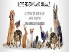 I Love Pigeons and animal,s